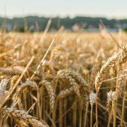 RAST CENA KUKURUZA I PŠENICE NA PRODUKTNOJ BERZI Uvođenje takse na izvoz ruske pšenice osetilo se i na domaćem tržištu