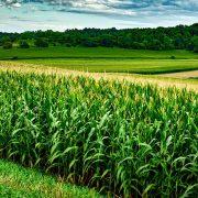 Cena soje probija sve rekorde, kukuruz prati svetske trendove