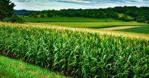 Neznatni pad cena kukuruza i pšenice u svetu