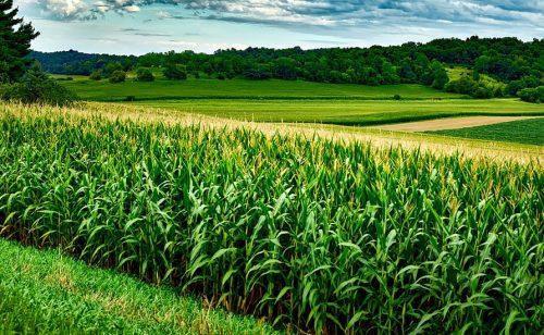 DOBRA GODINA ZA POLJOPRIVREDU Rekordan rod kukuruza, ne zaostaju ni pšenica i suncokret
