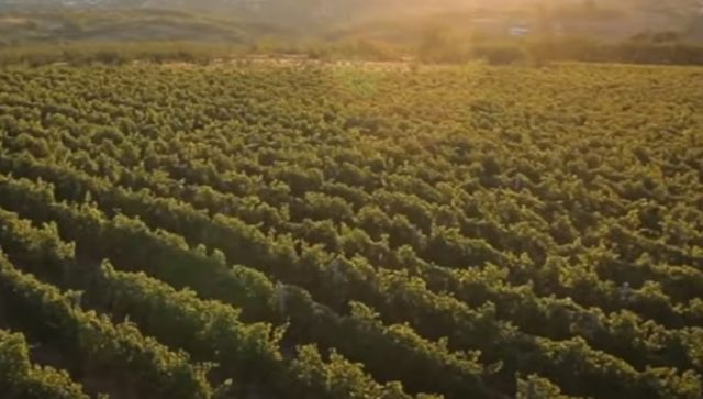Za vinogradare i vinare podsticaji, ali i povoljni krediti
