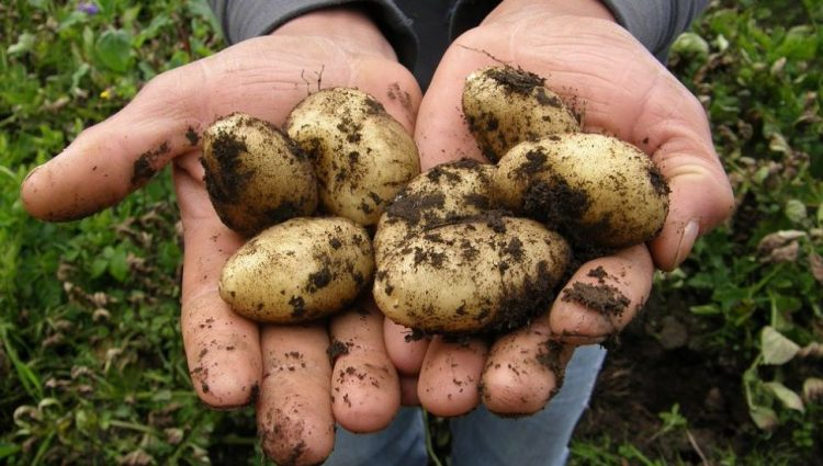 Rod krompira u Pomoravskom okrugu lošiji zbog suše