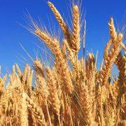 U jesenjoj setvi zasejano više površina nego prošle godine