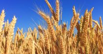 PANDEMIJA NIJE OŠTETILA DOMAĆU POLJOPRIVREDU Rod kukuruza i pšenice na nivou dobre prosečne godine, kaže Branislav Gulan