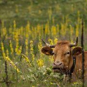AGRARU HITNO POTREBNA NOVA STRATEGIJA Za obnovu stočarstva neophodne izvozne zadruge, smatra Branislav Gulan