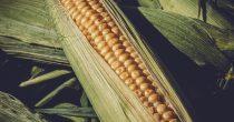 Rast cena pšenice i kukuruza