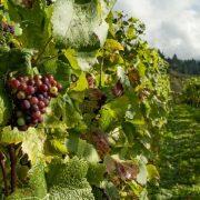 MILIONI ZA VINOGRADARE Država subvencioniše proizvodnju vina