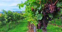 """KORONA """"UGUŠILA"""" PRODAJU VINA Vodeće vinarije u Italiji i Francuskoj smanjiće proizvodnju da bi poduprle cene"""