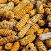 Kukuruz pokreće domaću i globalnu tražnju žitarica