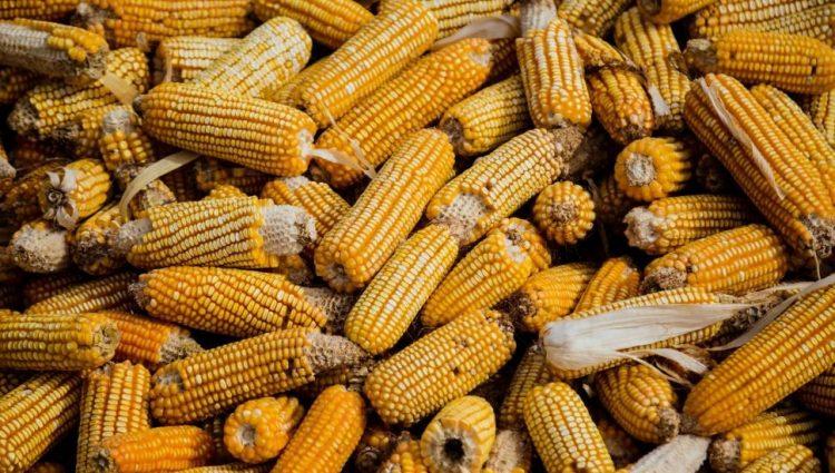 Suša u Pomoravlju umanjila prinos kukuruza za 30 odsto
