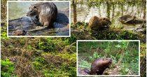 (VIDEO) INŽENJERI EKOSISTEMA Dabrovi u nacionalnom parku napravili branu posle 400 godina