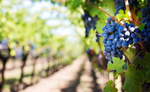 Srbija ima jednu od najnižih gustina vinograda u Evropi