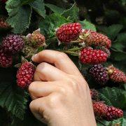 Sezonci za 20 dana mogu da zarade 100.000 dinara, gazdama i dalje fale berači voća