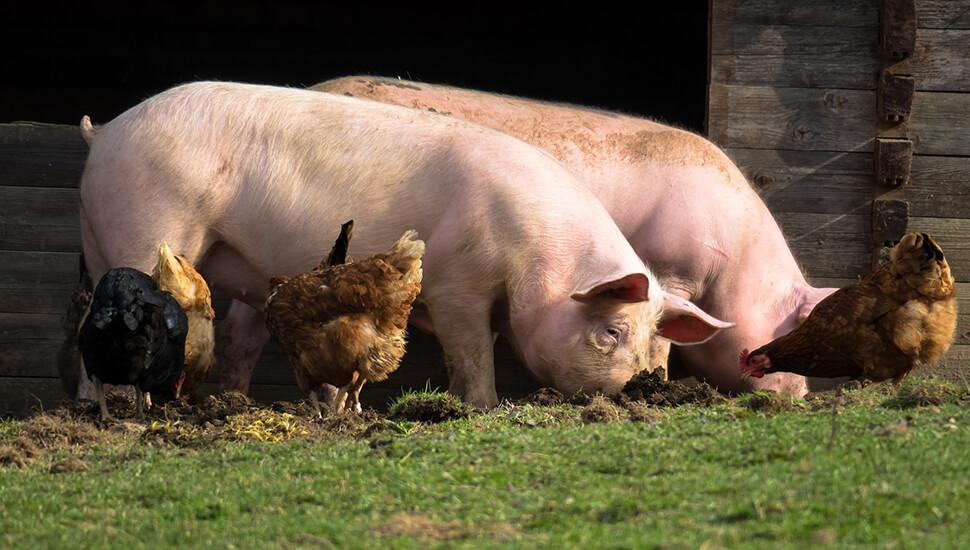 Svinje i kokoške