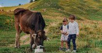 Usluga maženja krava postala popularna tokom pandemije