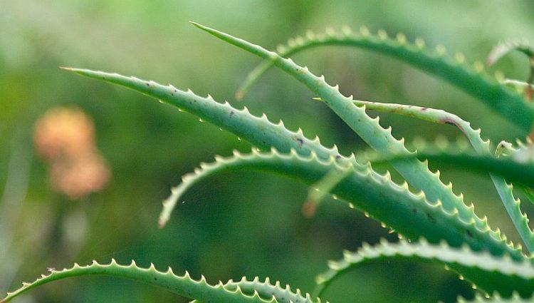 Aloe vera sadrži štetne sastojke, kakve su tržišne posledice?