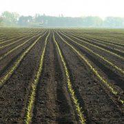 Liči na korov, ali retki uzgajivači sjajno zarađuju na ovoj biljci