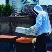 Košnice na krovovima zgrada poslednje utočište pčela
