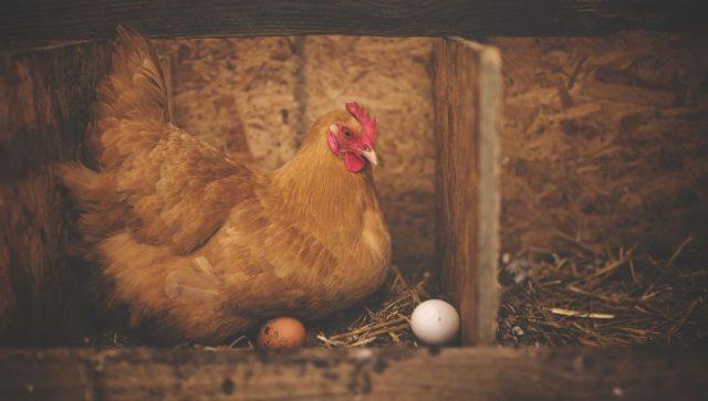 Na najvećoj crnogorskoj farmi uginulo 200.000 kokošaka zbog nestanka struje