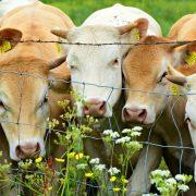 Stočni fond desetkovan uprkos potencijalu za uzgoj
