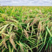 Veća opasnost preti nam od GMO pirinča nego od soje