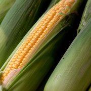 "Rod kukuruza ove godine ""omanuo"""